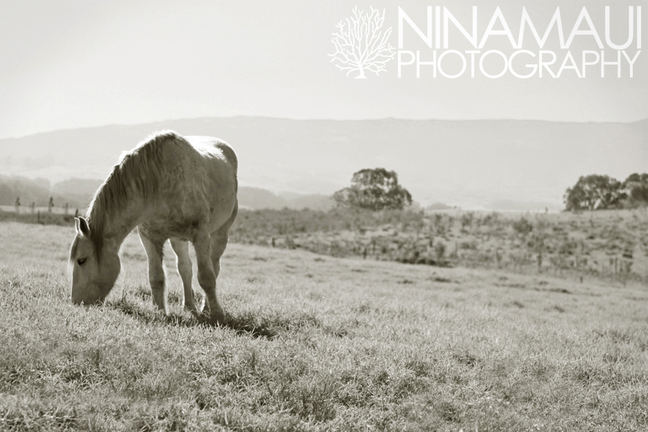 Kula Horses Nina Maui Photography Morning Horses in Kula